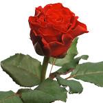 Роза алая Эльторо одна