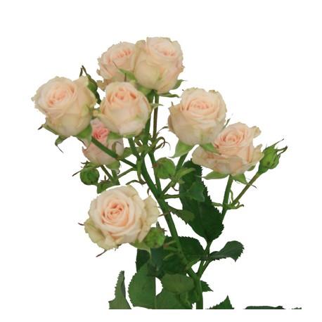 Роза кремовая спрей Яна ветка