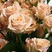 Роза кремовая спрей Яна