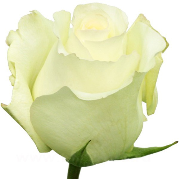 Роза белая Анастасия бутон