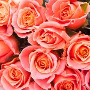 Роза розовая Мисс Пигги