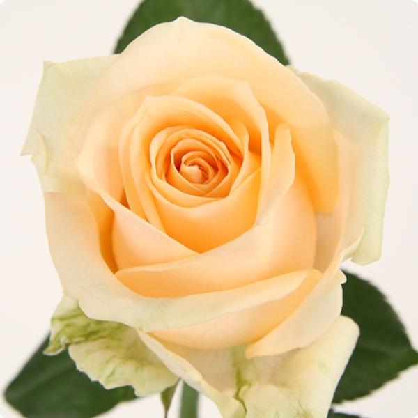 Роза кремовая Пич Аваланж бутон