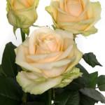 Роза кремовая Пич Аваланж малый букет