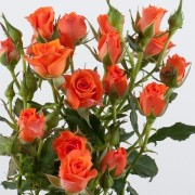 Роза оранжевая спрей Алегрия