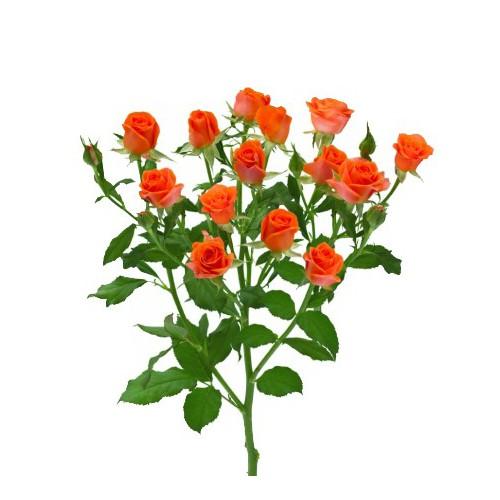 Роза оранжевая спрей Алегрия ветка