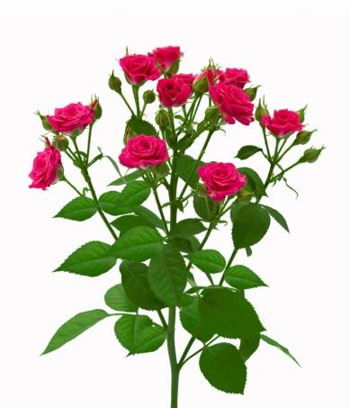 Роза спрей Лавли Лидия ветка