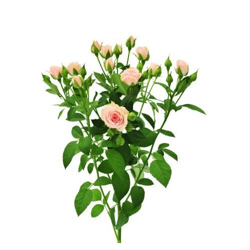 Роза спрей Лидия ветка