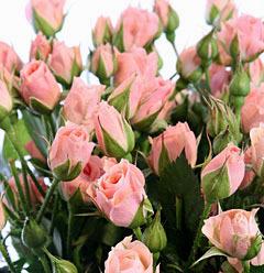 Роза спрей Лидия бутоны