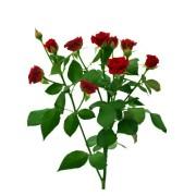 Роза спрей Мирабель ветка