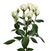 Роза белая спрей Сноуфлейк ветка