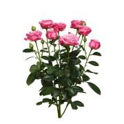 Роза спрей Леди Бобастик бутоны