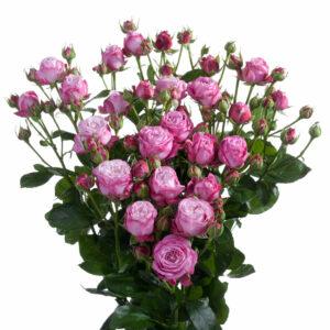 Роза спрей Леди Бобастик ветка