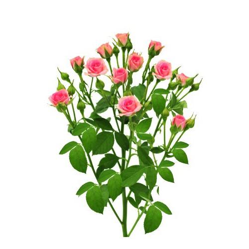 Роза розовая спрей Грация ветка