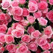 Роза розовая спрей Грация