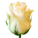 Роза кремовая Талея бутон