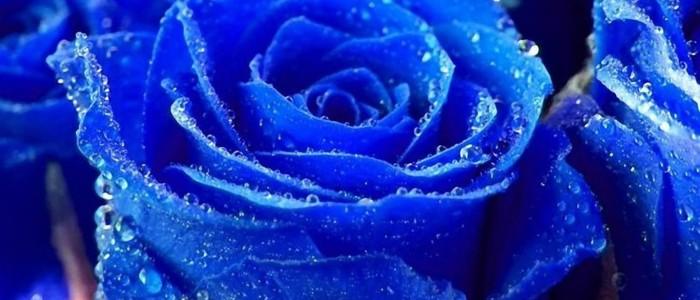 Розы Импорт
