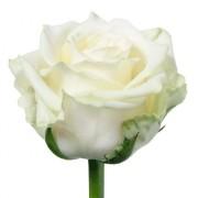 Роза белая Аваланж бутон