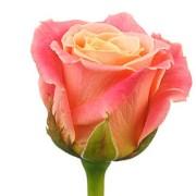 Роза розовая Мисс Пигги бутон