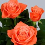 Роза оранжевая Вау бутоны