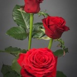 Роза красная Престиж бутон