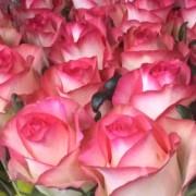 Роза бело розовая Джумилия