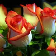 Роза бело розовая Блаш