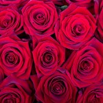 Роза красная Престиж