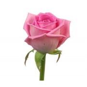 Роза розовая Аква бутон