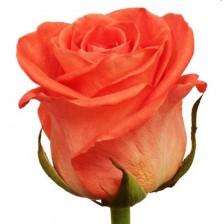 Роза оранжевая Вау бутон