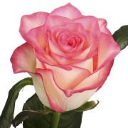 Роза бело розовая Джумилия бутон