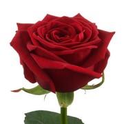 Роза красная Гранд При бутон