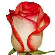Роза бело розовая Блаш бутон