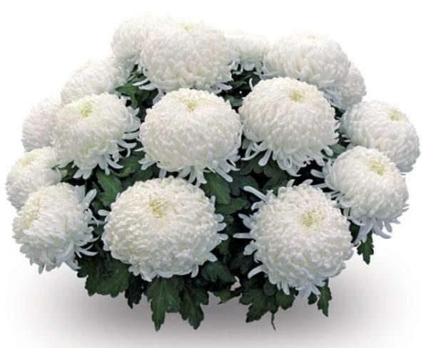 Букет хризантем 19 шт шаровидная