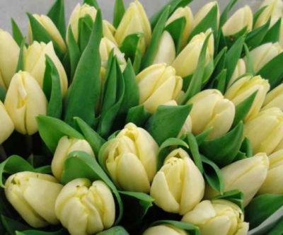 Тюльпаны кремовые букет 11 шт