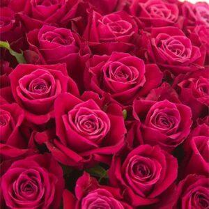 Розы малиновые Шангри Ла букет 101 шт 80 см